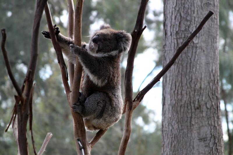 Koala, Melbourne Zoo, Melbourne, Australia